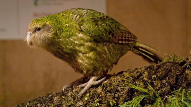 il Kakapò il più grasso dei pappagalli