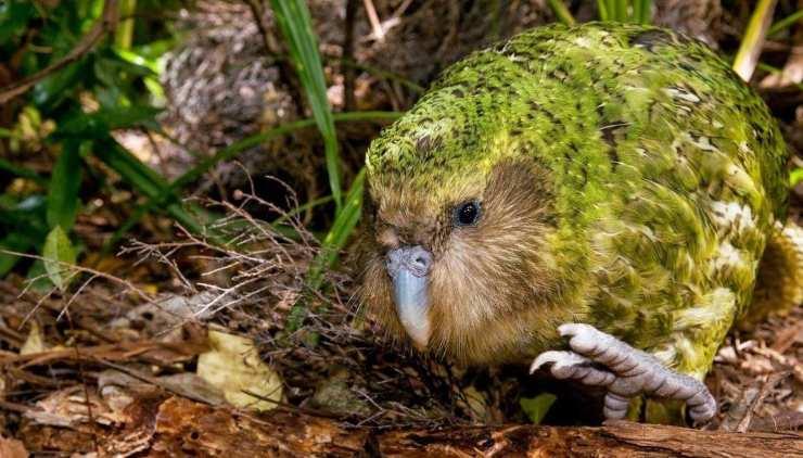 Kakapò in estinzione
