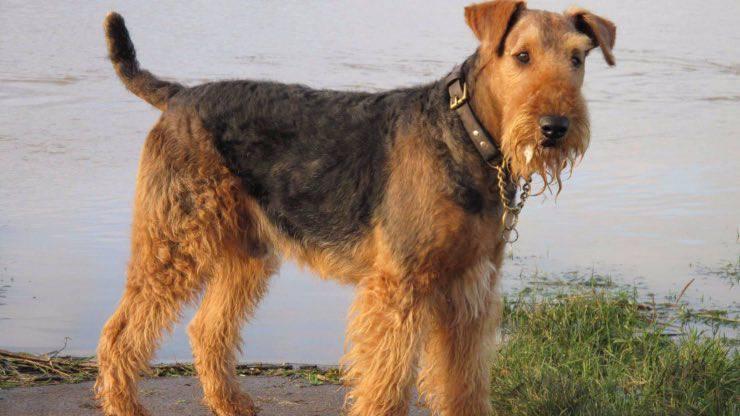 Malattie più comuni Airedale Terrier