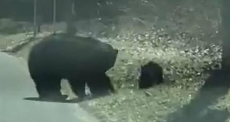 Mamma Orsa Cuccioli Strada Video