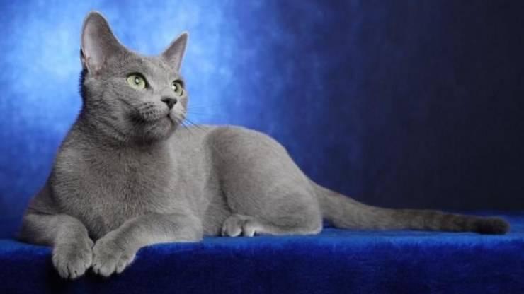 Razze di gatti con la coda sottile