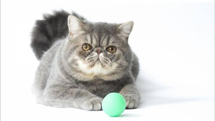 Razze di gatti giocherelloni