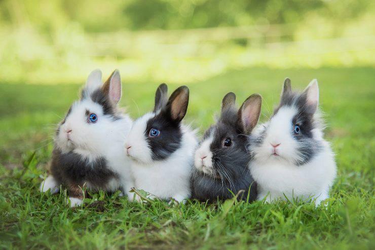 conigli da cortile