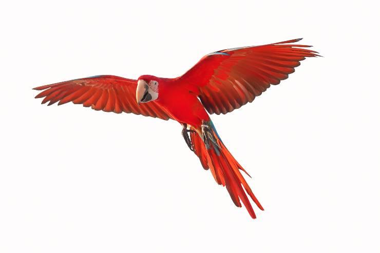 pappagallo rosso