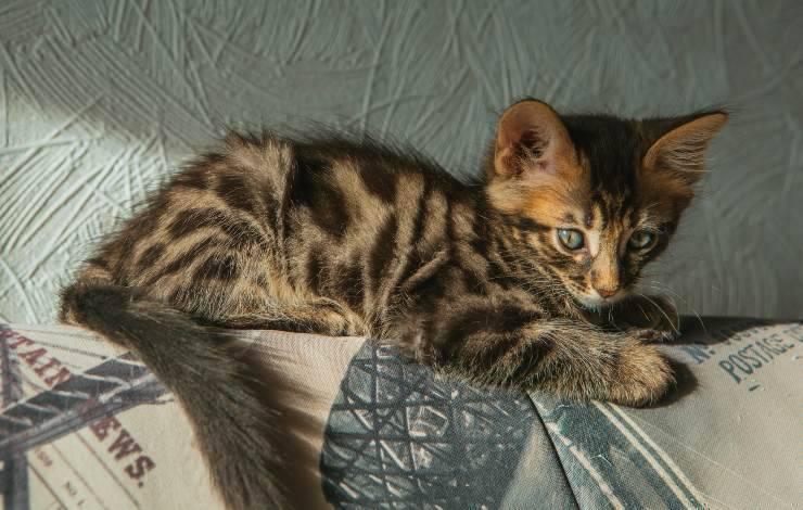 bengala longhair cucciolo