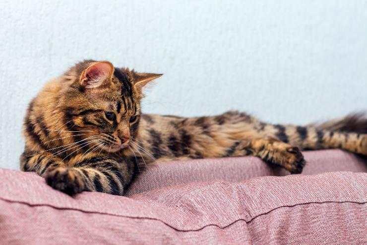 gatto cashmere