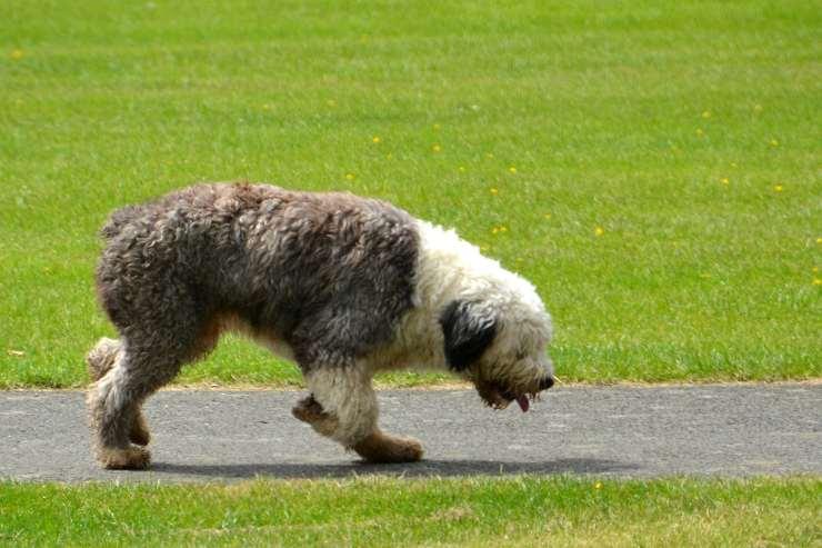 Cane cerca il padrone