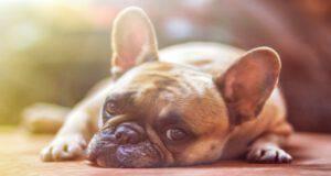 Il cane e la prostatite batterica