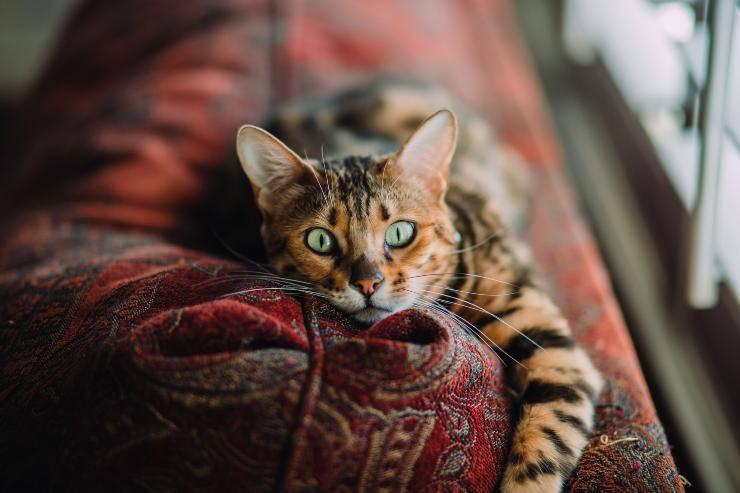 Il felino nasconde i giochi