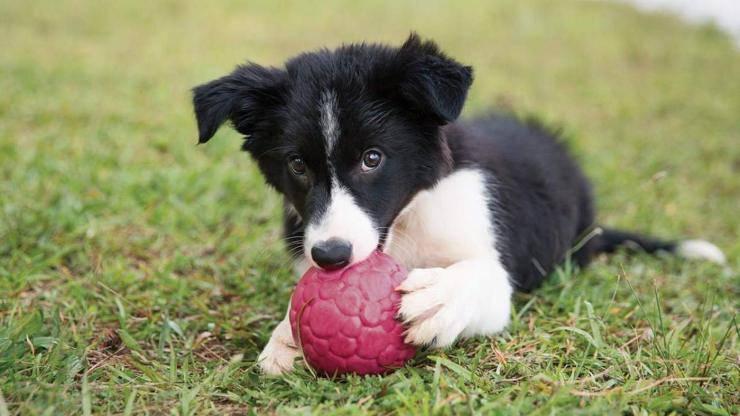 cane che gioca con pallina