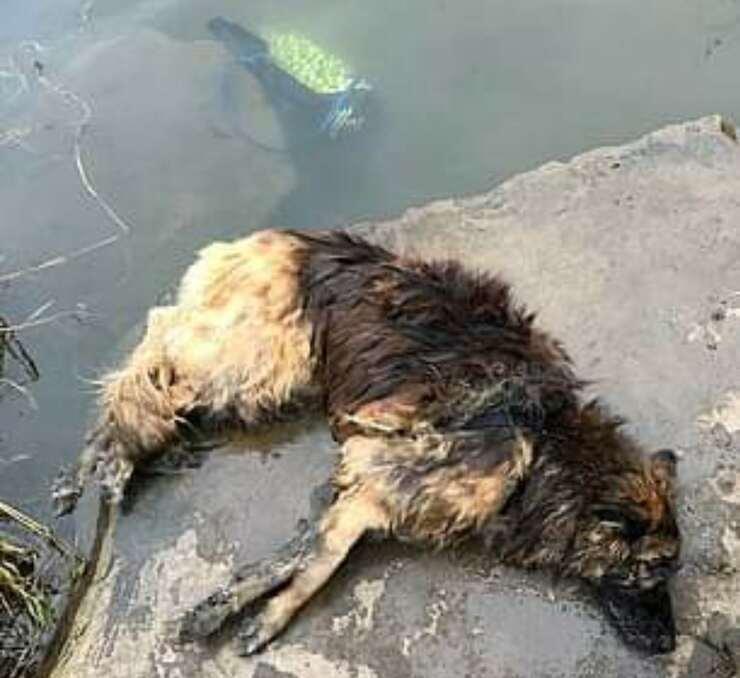 Bella il cane a cui hanno legato una roccia al collo per annegarla (Screen video)