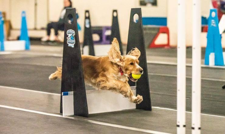 cane gioca a Flyball