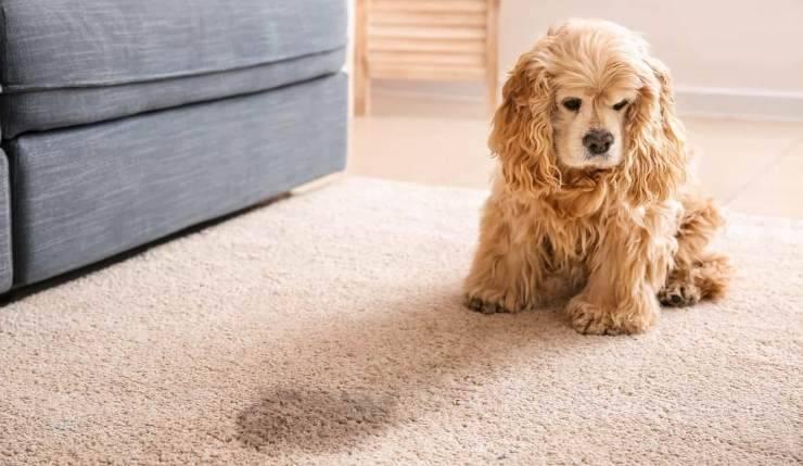 cane ha fatto pipì in casa-cause