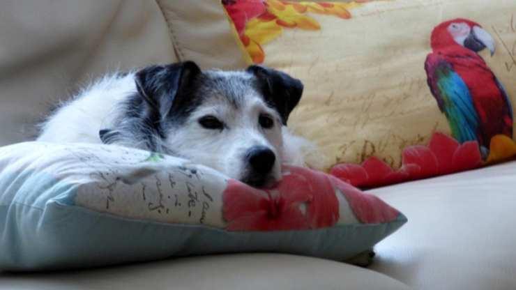 cane mette testa sul cuscino