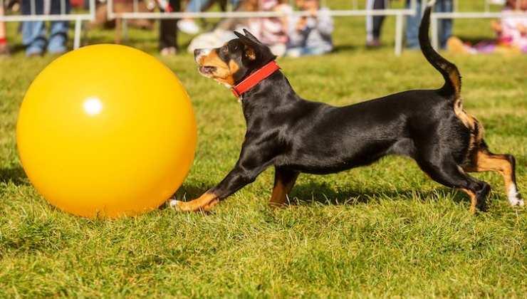 cane pratica il Treibball