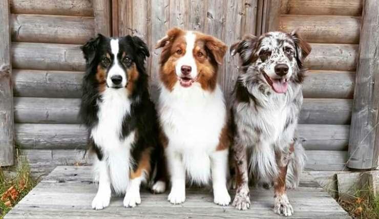 cani per chi vive in campagna Border Collie