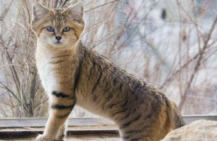 caratteristiche del gatto selvatico
