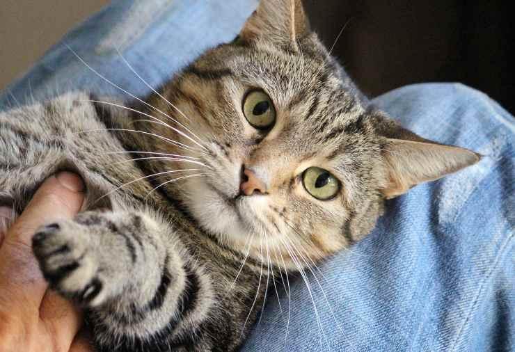 Il gatto può soffrire il solletico