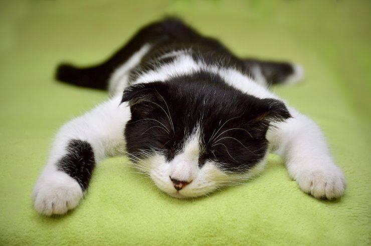 Pollachiuria nel gatto