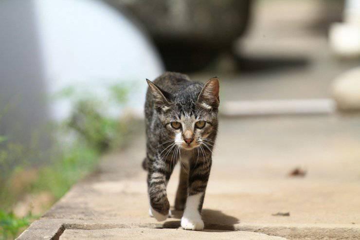 Il gatto sterilizzato scappa di casa