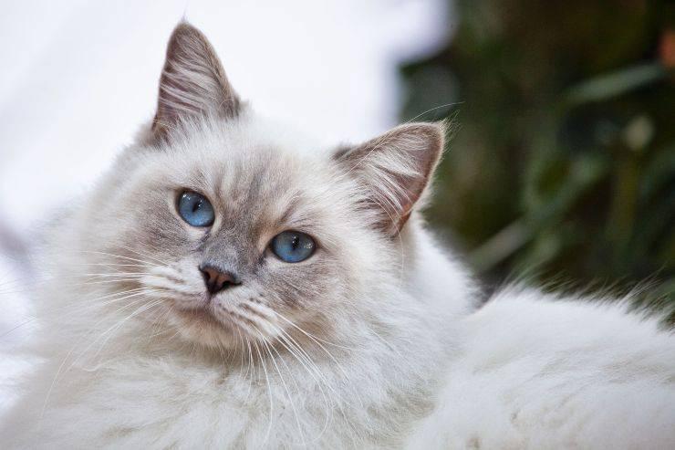 Come curare il pelo del gatto