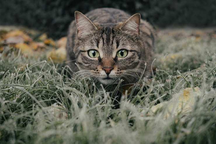 Felino sta cacciando