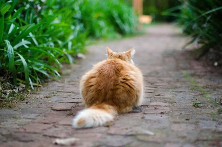 Necrosi della coda nel gatto