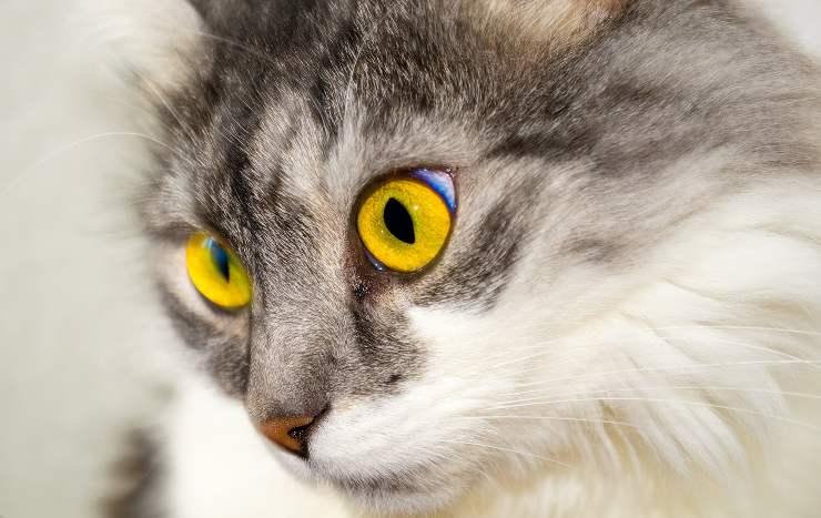 Ulcera corneale nel gatto