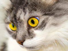 L'ulcera corneale del gatto