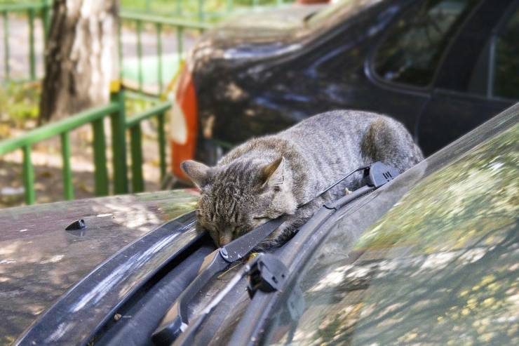 Gatto dorme sulla macchina