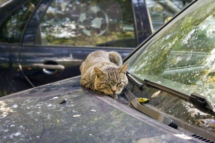 I gatti randagi dormono sulle macchine