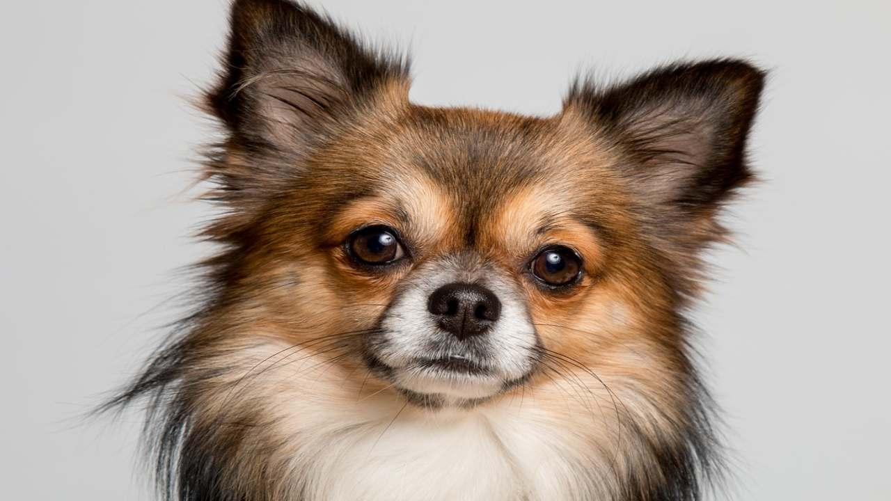 contato visivo umano cane