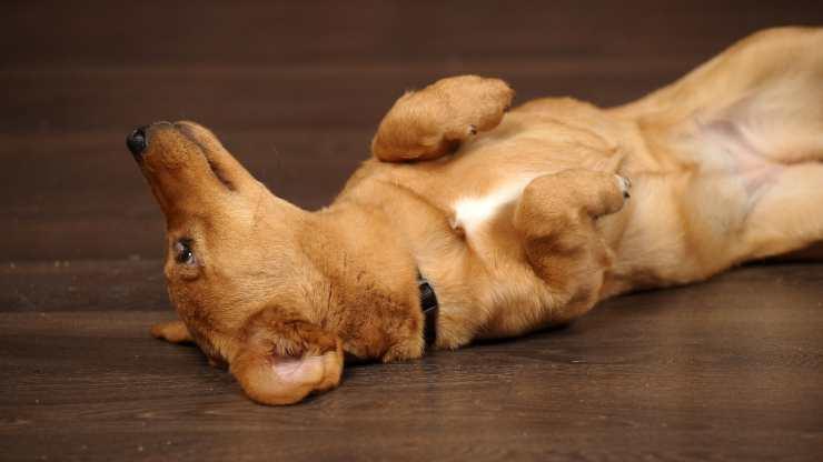 come capire se cane è sterilizzato