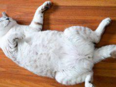 come capire se un gatto è sterilizzato