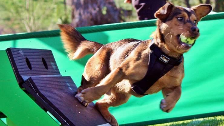 Come giocare a Flyball con il cane