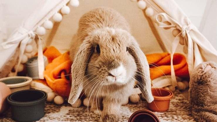 Come tenere un coniglio nano in casa