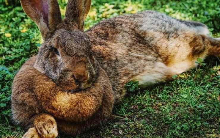 coniglio gigante delle Fiandre
