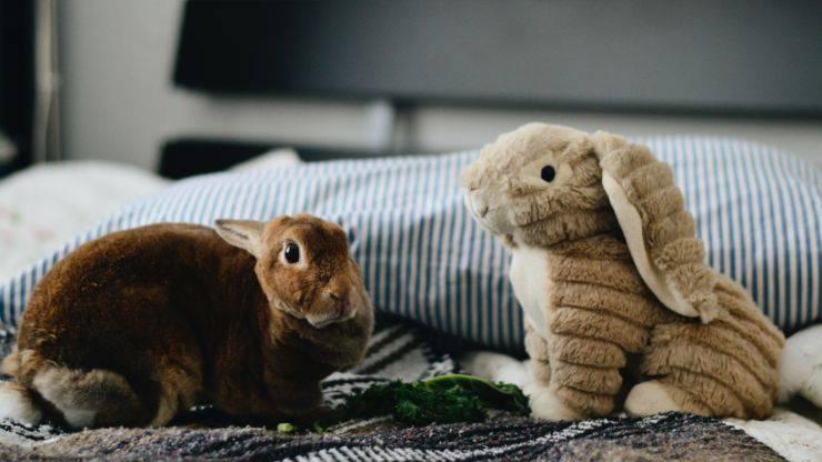 coniglio nano come animale domestico