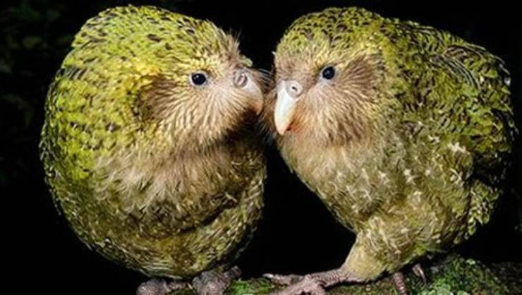 coppia di Kakapò