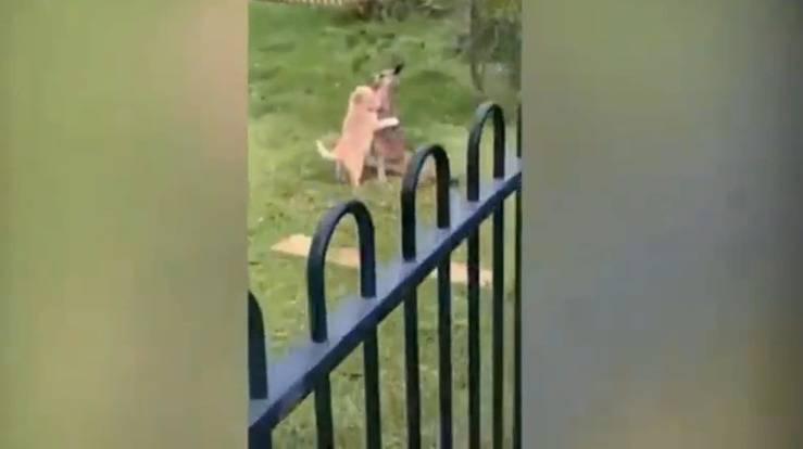 Cucciolo di cane abbraccia il cucciolo di canguro (Screen Video)