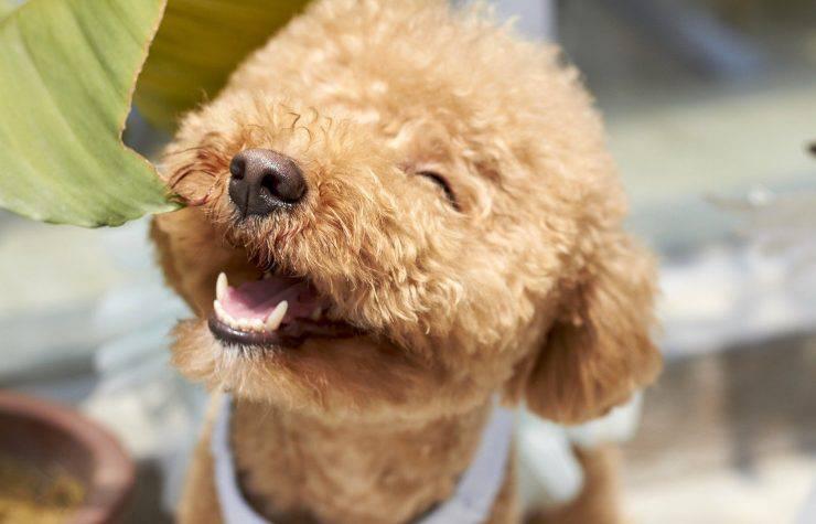 barboncino che sorride