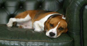 Tumore della prostata nel cane