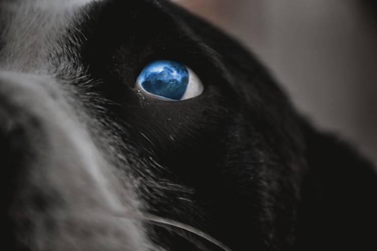 Il cane adulto piange di notte