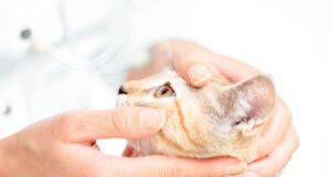 enoftalmo nel gatto