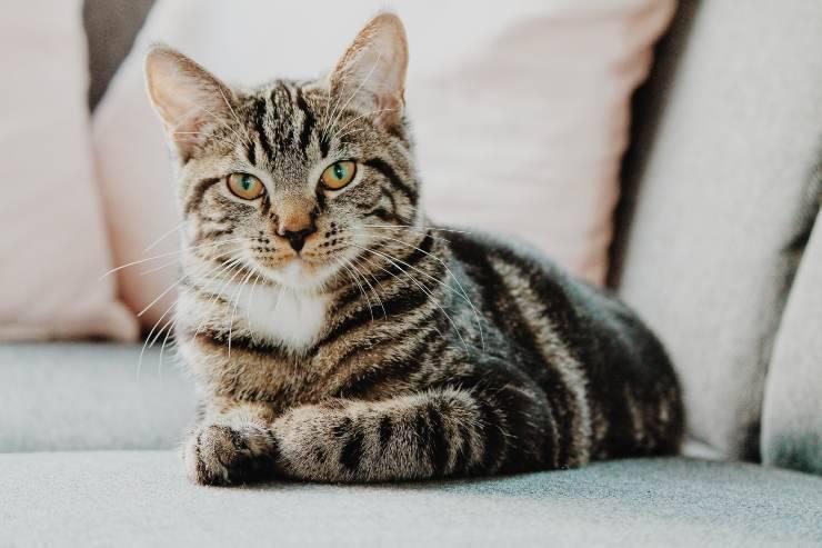 Il gatto con necrosi della coda