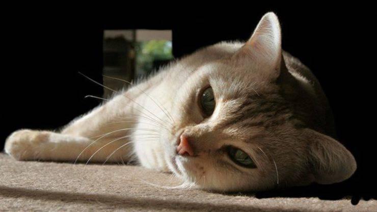 fibrosi polmonare nel gatto