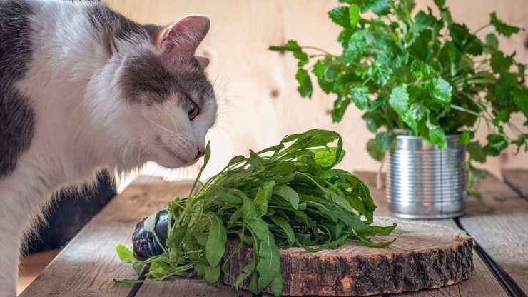 gatti possono mangiare rucola