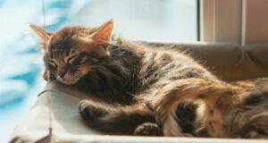 gatto bengala Longhair