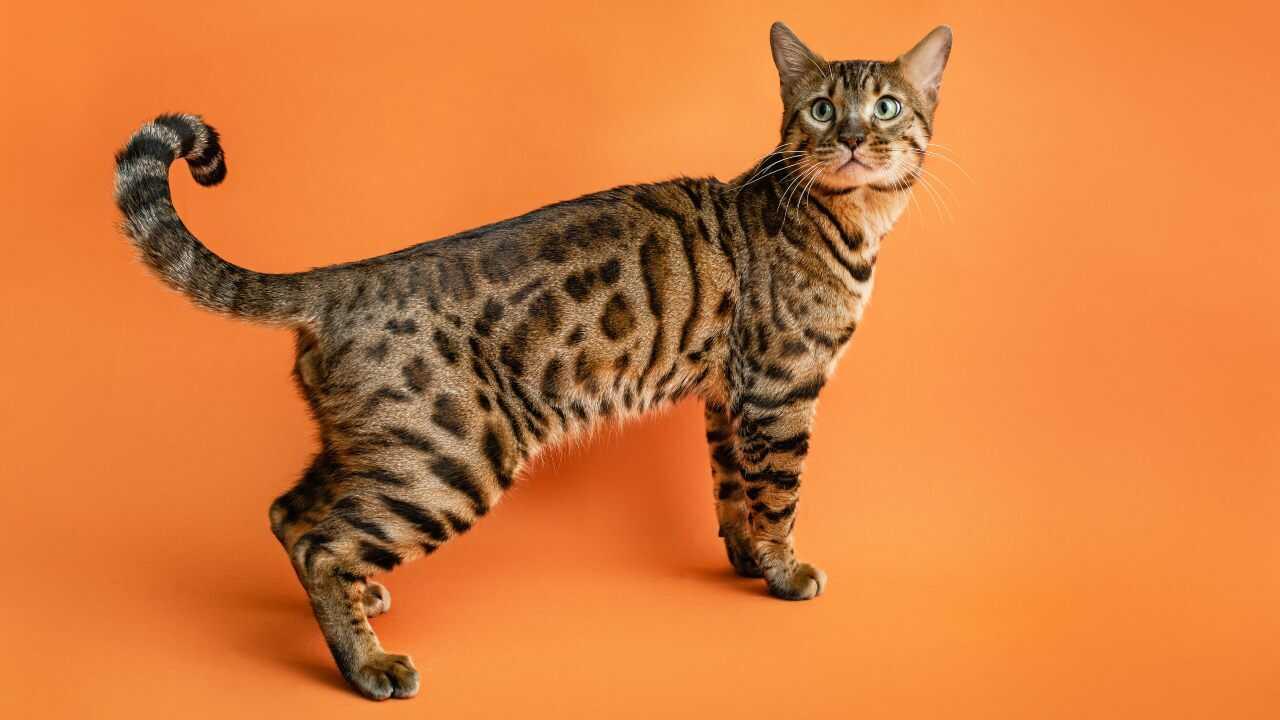 gatto del bengala