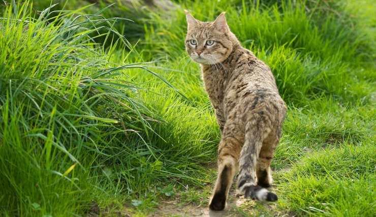 gatto di Bieti